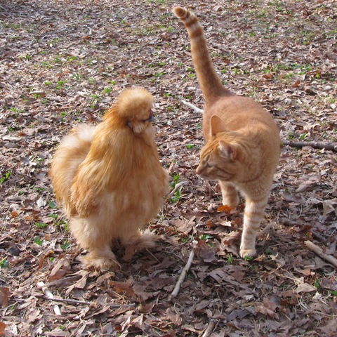 Buff-silkie-chicken-making-friends-with-orange-tiger-cat