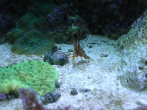 reef-shrimp